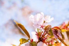 Gruppe von blassem - rosa Kirschblüte-Blumen Stockfotografie