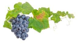 Gruppe von blauen Trauben auf der Rebe auf hellem Hintergrund Stockbild