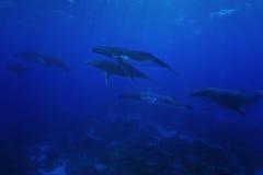 Gruppe von Buckelwale Unterwasserpazifischem ozean stockfotos