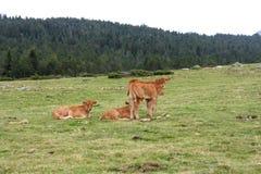 Gruppe von Calfs-Kuh in Pyrenäen, Frankreich Stockfotos