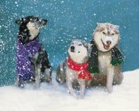 Gruppe von drei Hunden, die Schals im Schneesturm tragen Lizenzfreies Stockfoto