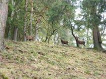 Gruppe von drei jungen Rotwild auf einem Hügel stockbilder