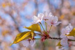 Gruppe von drei weichen rosa Kirschblüte-Blumen Stockfotografie