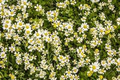 Gruppe von Gänseblümchen 2 Stockfotografie