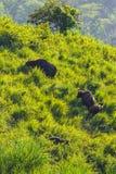 Gruppe von Gaur (Bos gaurus laosiensis) Stockfoto