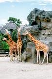 Gruppe von 4 Giraffen, die um Felsenhügel im Zoo stehen stockfoto