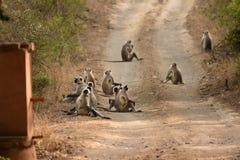Gruppe von Gray Langur oder von Hanuman Langur, die auf Straße stillstehen Stockfotografie