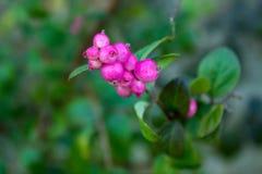 Gruppe von hellen rosa Beeren in der Hecke stockbild