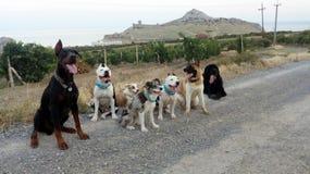 Gruppe von 7 Hunden auf einer Gebirgsstraße lizenzfreies stockbild