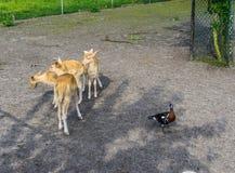 Gruppe von jungen kleinen Rotwildtieren und von schwarzen braunen Ente Lizenzfreie Stockfotografie