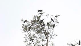 Gruppe von Krähen, die in Bäumen zanken stock video