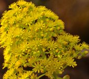 Gruppe von leuchtenden Aeoniumblumen Stockbild