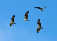 Gruppe von Osprey Lizenzfreie Stockfotografie