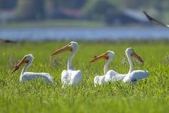 Gruppe von Pelikanen im Gras Lizenzfreies Stockfoto