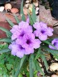 Gruppe von purpurroten Blumen Lizenzfreies Stockbild