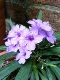Gruppe von purpurroten waterkanon Blumen Lizenzfreies Stockbild