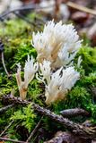 Gruppe von Ramariopsis-kunzei oder von korallenrotem Pilz Lizenzfreie Stockbilder