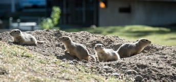 Gruppe von Richardson Ground Squirrels Lizenzfreies Stockfoto