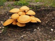 Gruppe von riesigen Flammen-Kappen-Pilzen Lizenzfreie Stockfotos