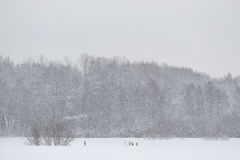 Gruppe von Rogen deers in der Winterzeit Lizenzfreie Stockfotografie