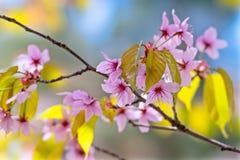 Gruppe von rosa Kirschblüte-Blumen Stockbild