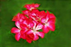 Gruppe von roten Blumen Lizenzfreies Stockfoto