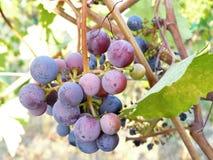 Gruppe von runden purpurroten und roten Trauben Lizenzfreies Stockbild