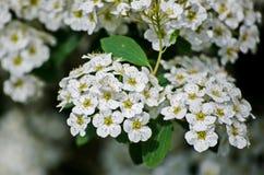 Gruppe von süßen Spott-orange Blumen oder von englischem Hartriegel Philadelphus-coronarius Lizenzfreie Stockfotos