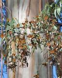 Gruppe von Schmetterlingen im Eukalyptus-Baum Stockfotografie