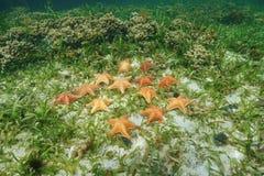 Gruppe von Starfish unter dem karibischen Meer des Wassers Lizenzfreie Stockbilder