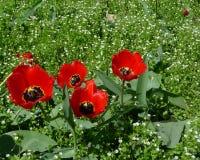 Gruppe von vier blühenden roten Tulpen im grünen Gras Stockbilder