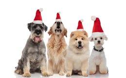 Gruppe von vier entzückenden Sankt-Hunden der unterschiedlichen Zucht stockbild
