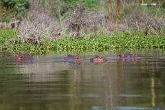 Gruppe von vier Flusspferden Lizenzfreie Stockfotografie