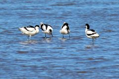 Gruppe von vier Waten Avocets Stockfotos