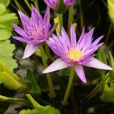 Gruppe von violetten Seerosen Lizenzfreie Stockfotos