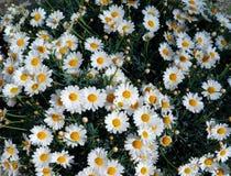 Gruppe von weißen Gänseblümchen stockfotos