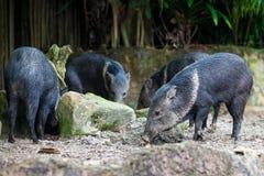 Gruppe von 4 wilden Ebern stockfotos