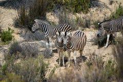 Gruppe von Zebra stockfotografie