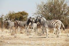 Gruppe von Zebra Stockbilder