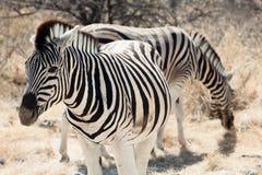 Gruppe von Zebra Lizenzfreie Stockfotografie
