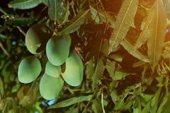 Gruppe wachsende Mangofrüchte Stockfotografie