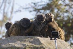 Gruppe weiß-köpfige Makis überrascht vor einer Kamera stockfotografie