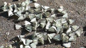Gruppe wei?e Schmetterlinge stock footage