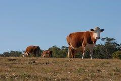 Gruppe weiden lassende Milchkühe Lizenzfreie Stockbilder