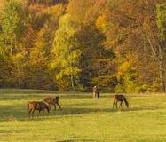 Gruppe weiden lassende und spielende Pferde Stockfotos