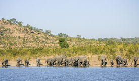 Gruppe wilde afrikanische Buschelefanten, in Kruger-Park stockfotografie