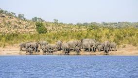 Gruppe wilde afrikanische Buschelefanten, in Kruger-Park stockbilder