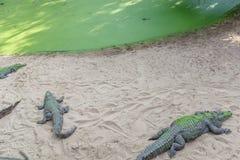 Gruppe wilde Krokodile oder Alligatoren, die in der Sonne sich aalen Lizenzfreie Stockfotos