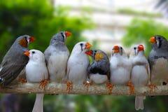 Gruppe Zebrafinkvögel stockbilder
