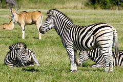 Gruppe Zebras Stockfotos